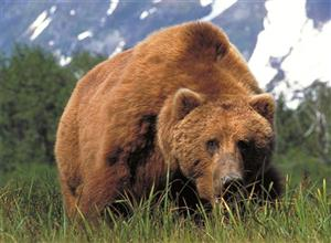 Grizzly Bear in Open Field